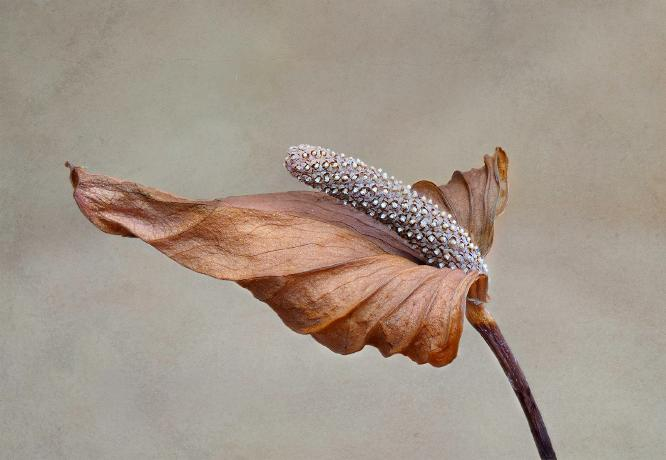 Beauty in decay anthurium - Nesta James