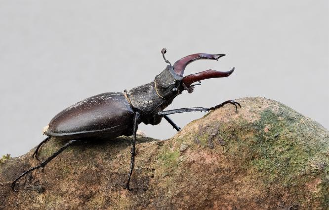 Male Stag Beetle - Andrew Smith