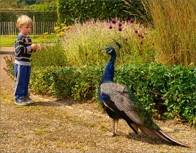 Stanley meets the Peacock - Peter Pangbourne