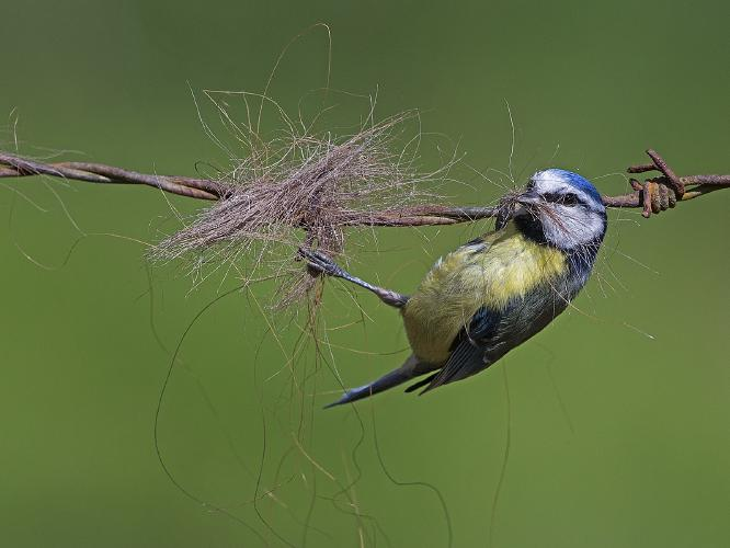 Blue tit with horse hair - Robert Bannister