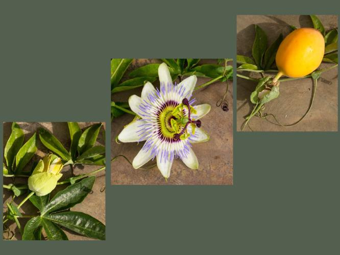 Passionflower life-cycle - Mary Battye