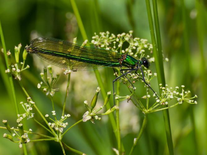 Green Dragonfly - Piers R Williams