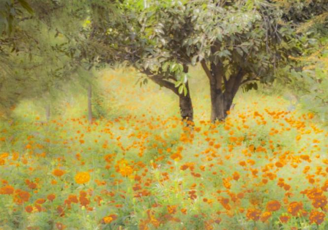 Marigold Orchard Pushkar - Colin Westgate