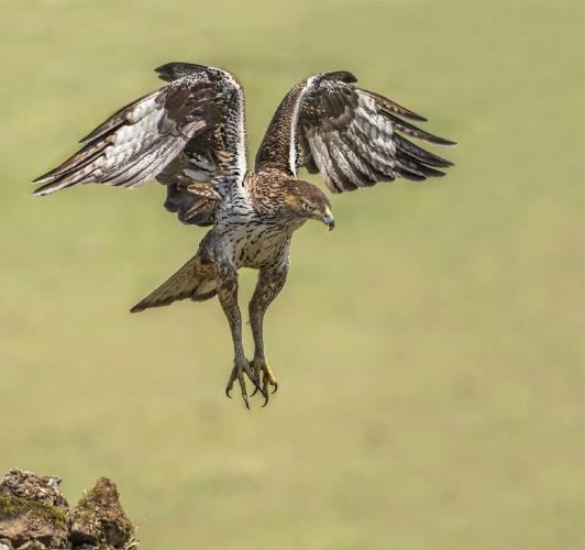 Bonellis Eagle - Marny Macdonald