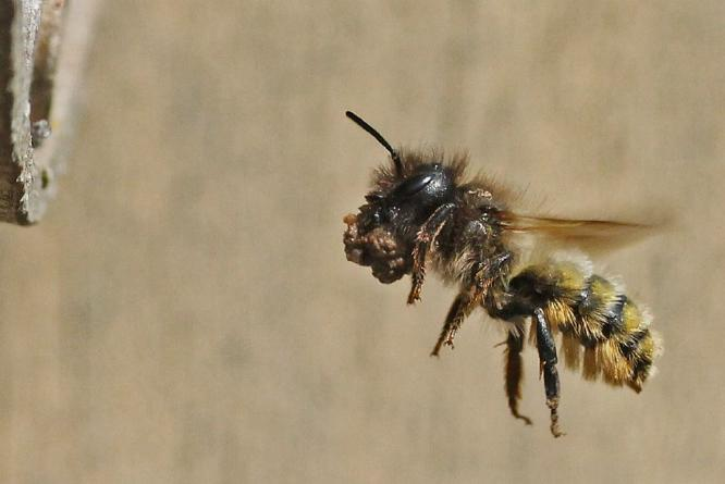 Mason Bee with Mud Approaching Her Nest - Andrew Smith