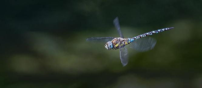 Emperor Dragonfly in Flight - Colin Brett