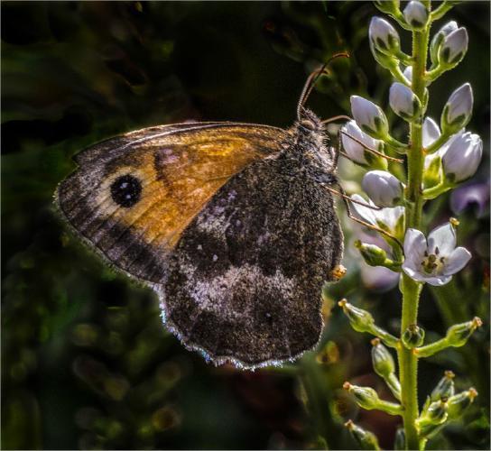 Gatekeeper butterfly - Mary Battye