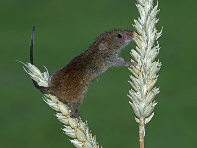 Harvest Mouse on Wheat Ear - Robert Bannister