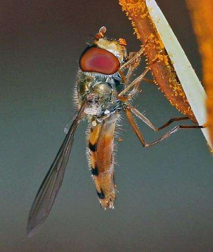 Hoverfly on Stamen - Andrew Smith