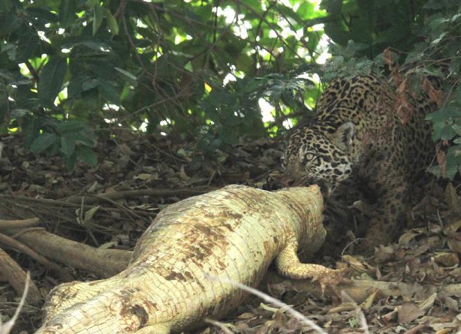 Jaguar and Large Caiman Kill - Mary Brace