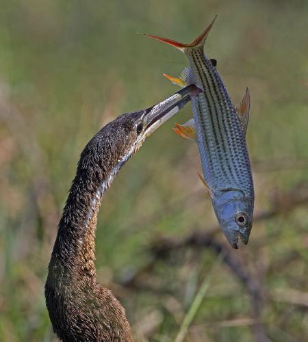 Darter with Large Tiger Fish - Robert Bannister