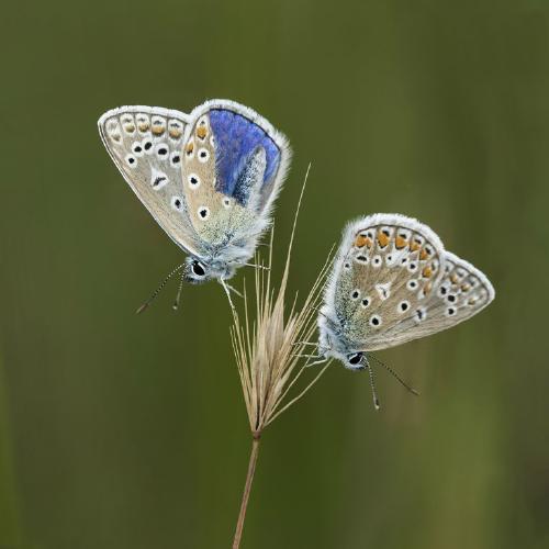 Roosting Common Blue Butterflies - Robert Farrow