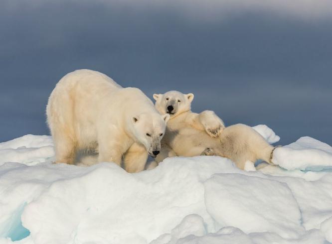 Mother and cub on an Iceberg - Robert Macdonald