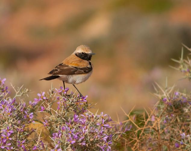Desert Wheatear - Chris Poole