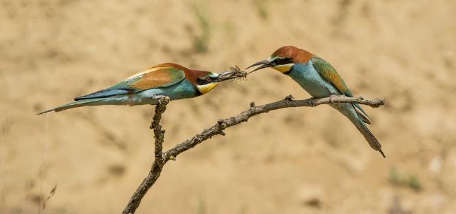 European Bee-eaters exchange a bee - Lynn Rix
