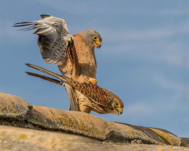 Lesser Kestrels on the roof - Marny Macdonald