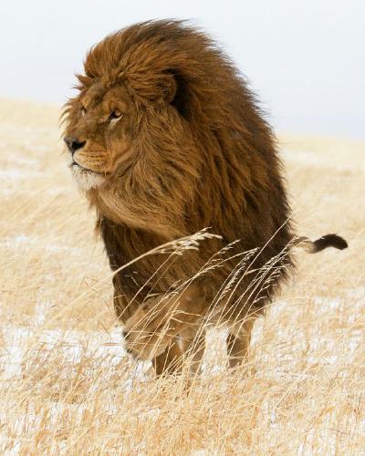 Lion King - Derek Howes
