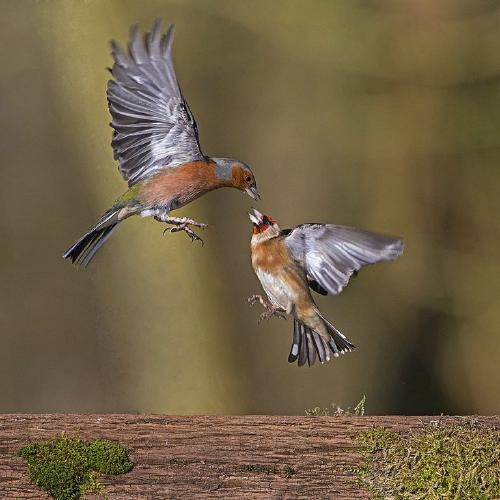 Chaffinch attacking a Goldfinch - Robert Bannister