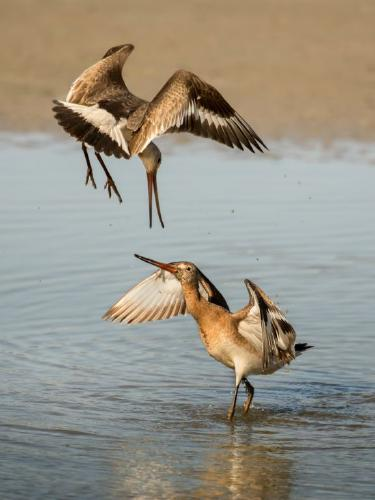 Black Tailed Godwits - Chrissie Hart