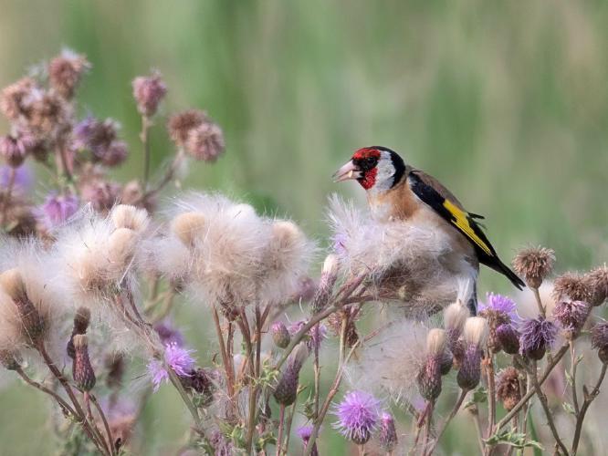 Goldfinch On Thistle - Chrissie Hart