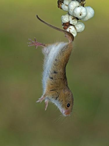 Harvest mouse about to leap - Robert Bannister