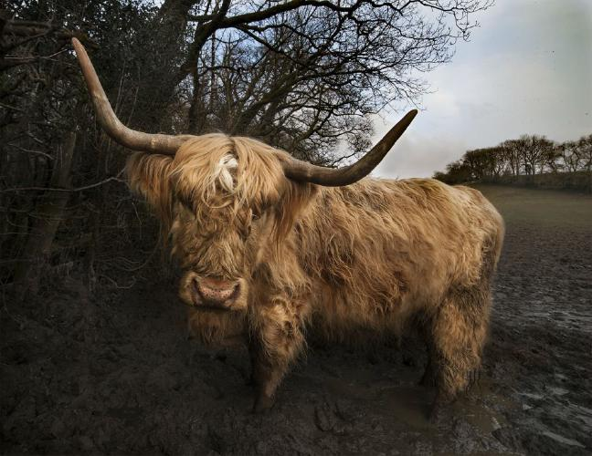 Highland Cattle In Wales - Steve Ball