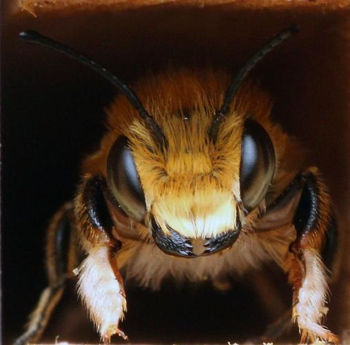 Megachile Willughbiella - Andrew Smith