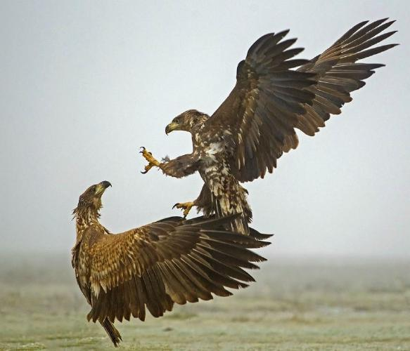 White Tailed Eagle Conflict - Robert Bannister