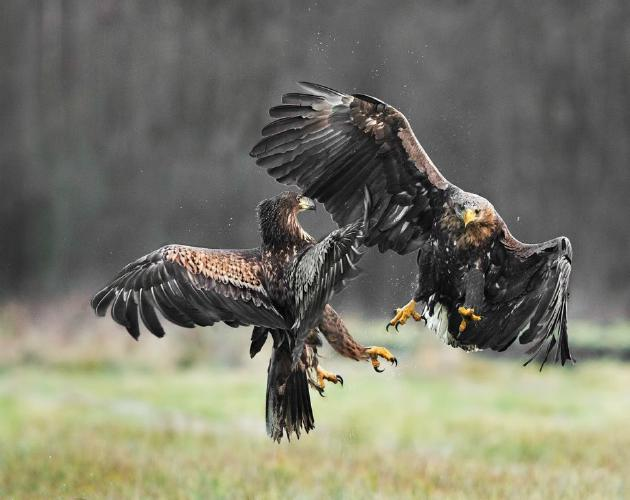 White Tailed Eagles in combat - Marny Macdonald