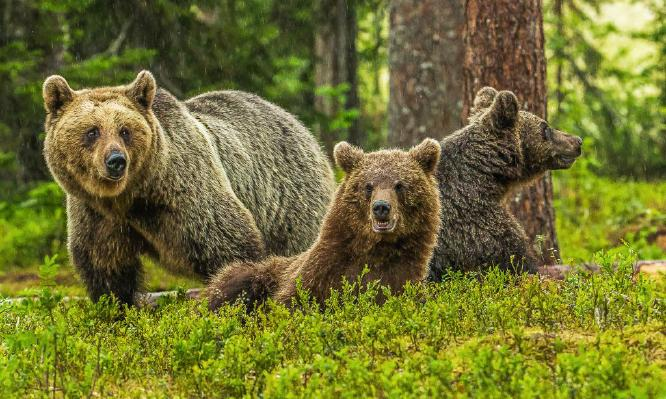 Brown Bear Mother and Cubs - Robert Macdonald