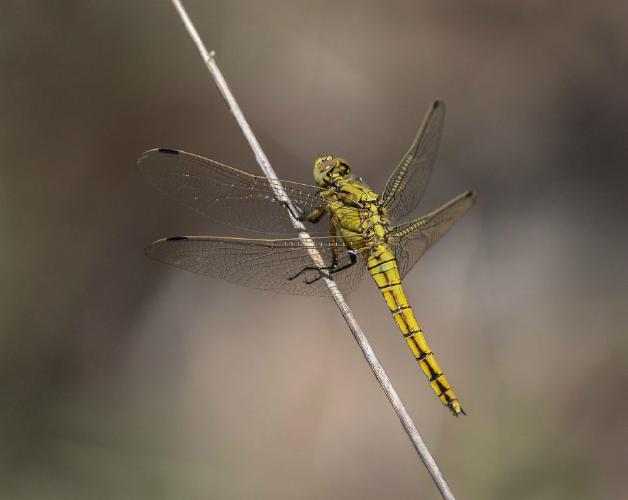 Female Black-tailed Skimmer - Chris Poole