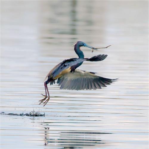 Tri-coloured Heron carrying nesting material - Derek Howes