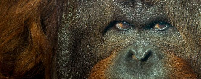 Alert Male Orangutan - Amit Roy