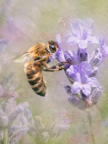 Honey Bee - Chrissie Hart