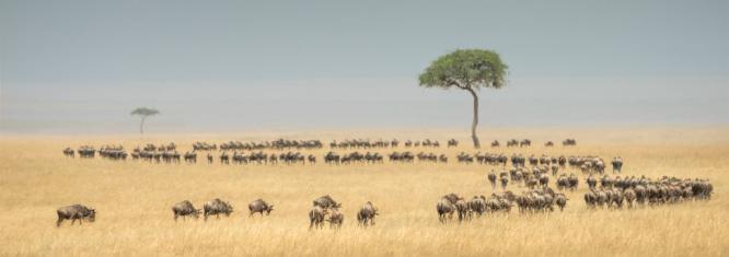 Migrating Wildebeests - Cheryl Wilkes
