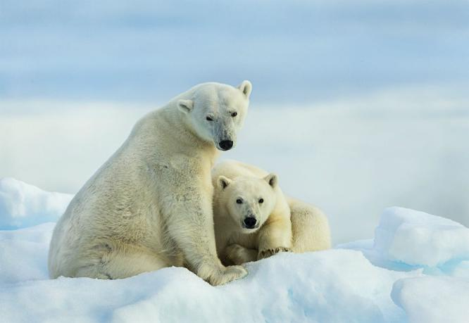 Polar Bear Mother and Cub on an Ice Flow - Marny Macdonald