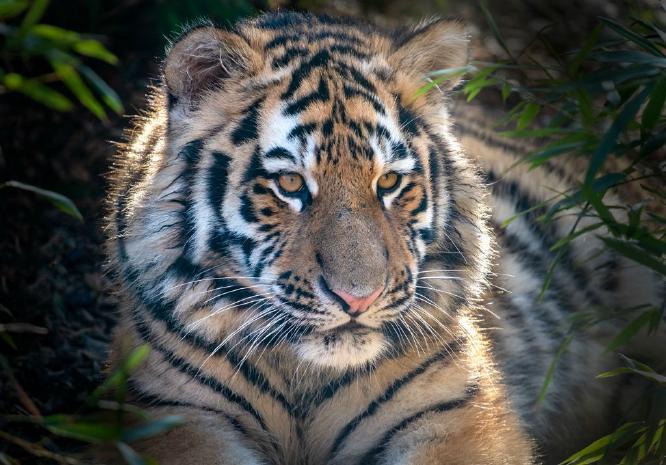 Amur Tiger Cub - Wendy Leech