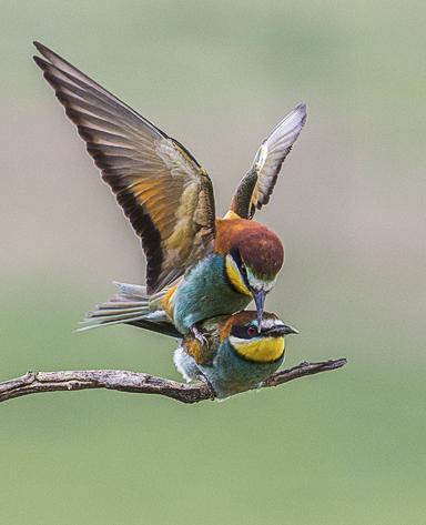 Bee eaters pairing - Robert Macdonald
