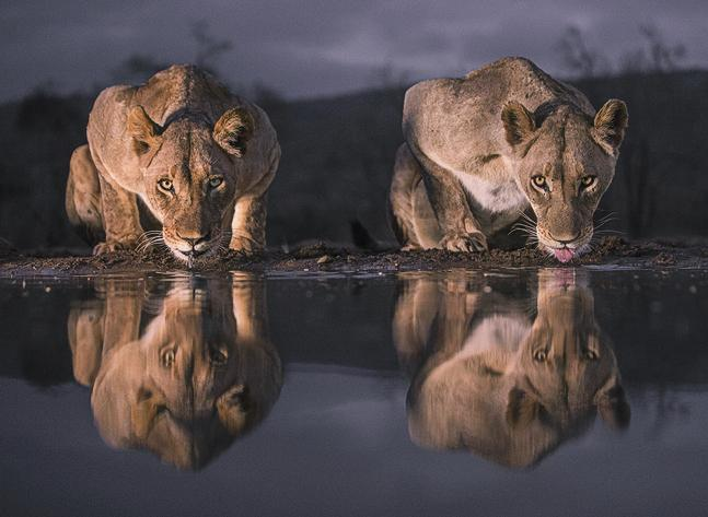 Lionesses at Water Hole - Robert Macdonald