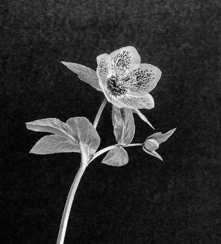 Hellebore - Marny Macdonald