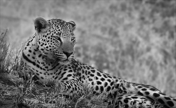 Resting Leopard - Geoff Jackson