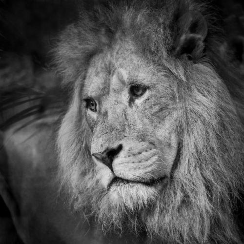 Sad Lion - Amit Roy