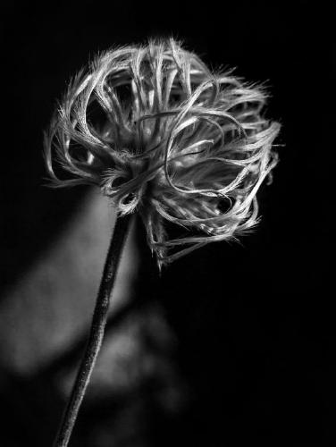 Clematis Nelly Moser seedhead - Mary Battye