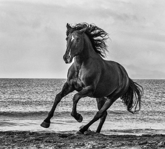 Black Stallion - Marny Macdonald