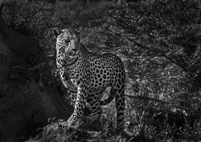 Leopard Namibia - Colin Westgate
