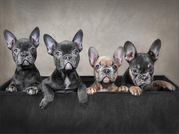 Box Of Bulldogs - Marcia Mellor