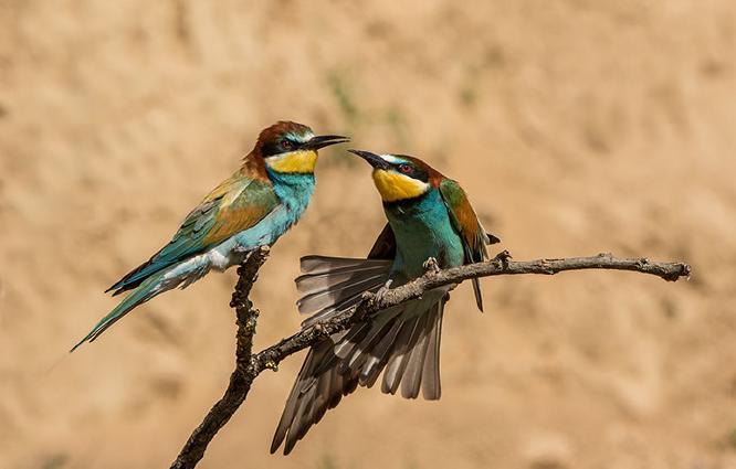 European Bee-eaters - Lynn Rix