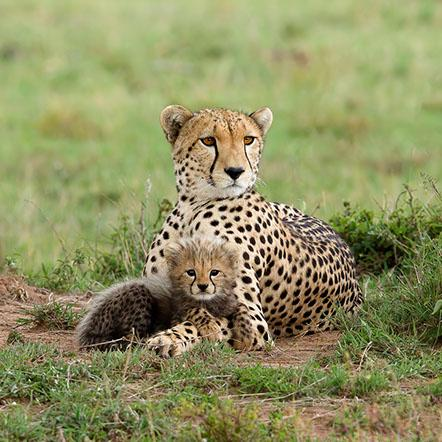 Mother Cheetah and her cub - Derek Howes