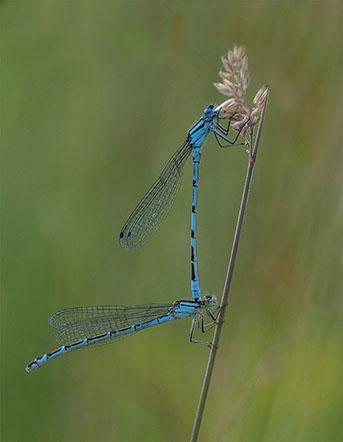Paired Common Blue Damselflies - Robert Farrow