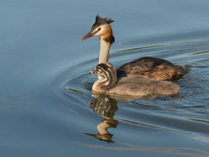 Grebe Mother & Chick - Chrissie Hart